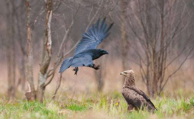 Aquila-anatraia-minore-e-Corvo-imperiale_foto-Marek-Kosinski-Copia